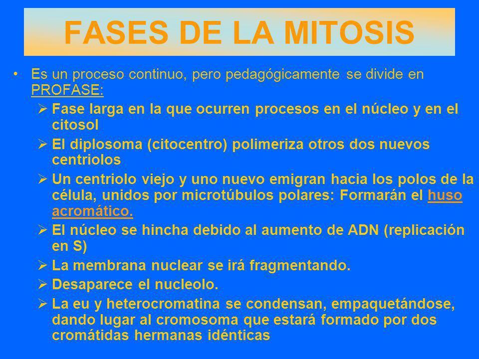 FASES DE LA MITOSIS Es un proceso continuo, pero pedagógicamente se divide en PROFASE:
