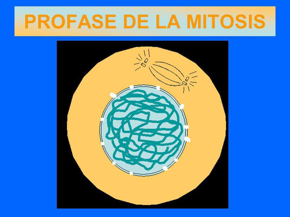 PROFASE DE LA MITOSIS