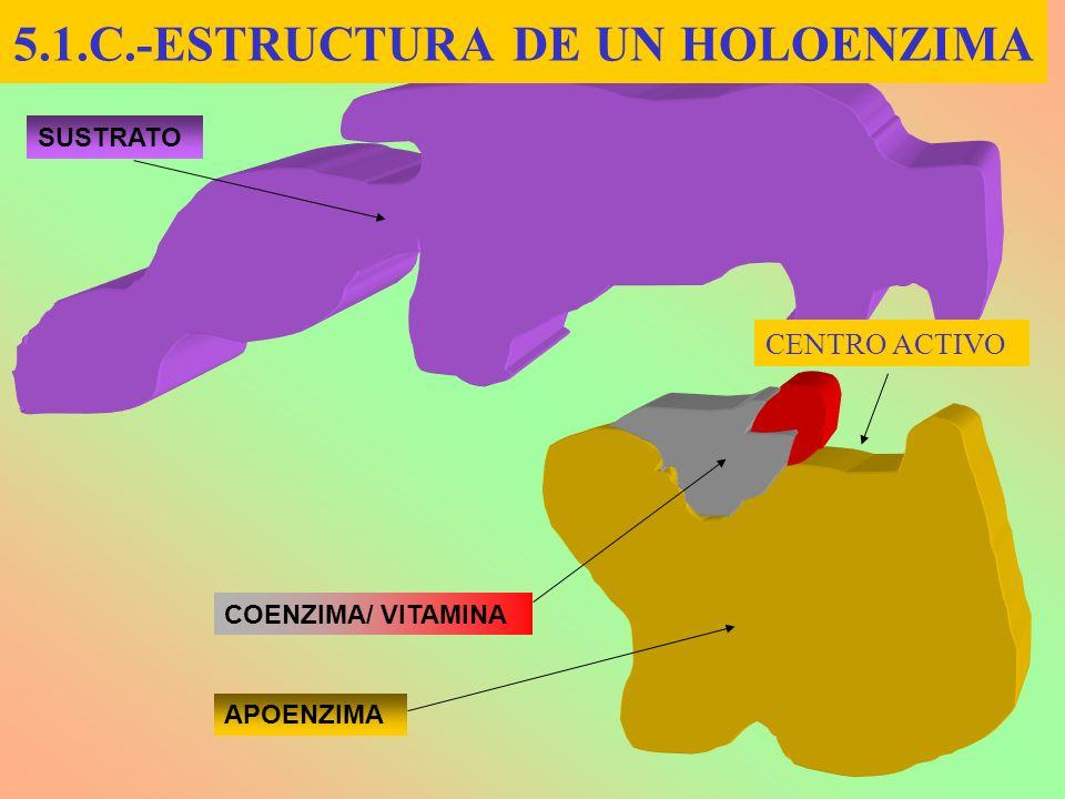 5.1.C.-ESTRUCTURA DE UN HOLOENZIMA