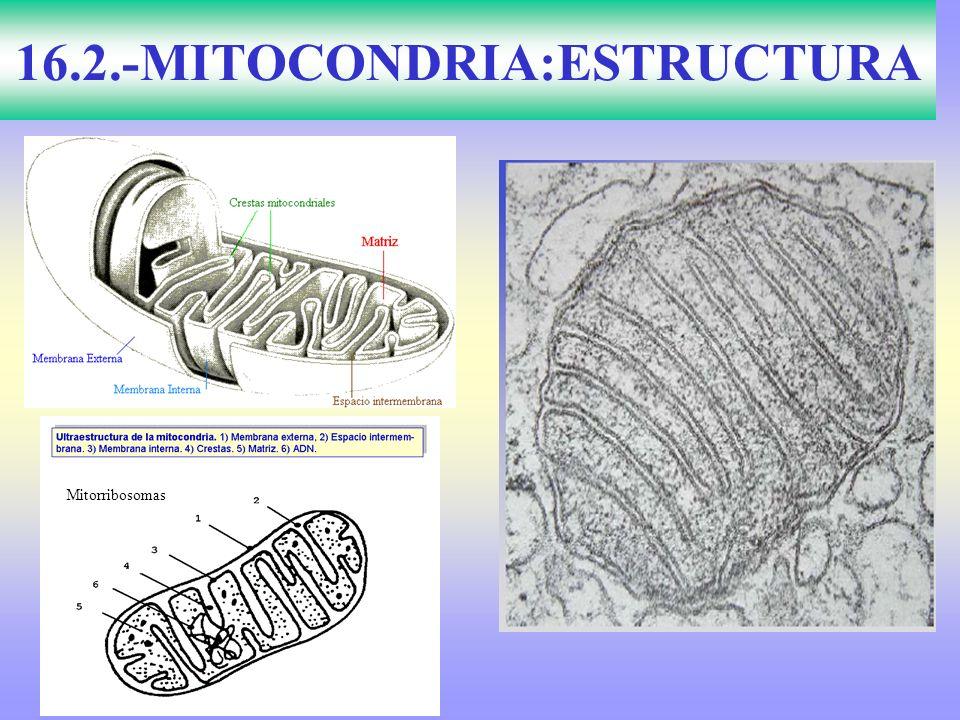 16.2.-MITOCONDRIA:ESTRUCTURA
