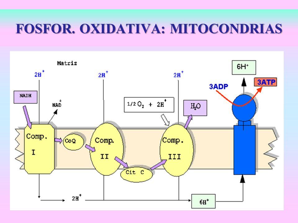 FOSFOR. OXIDATIVA: MITOCONDRIAS