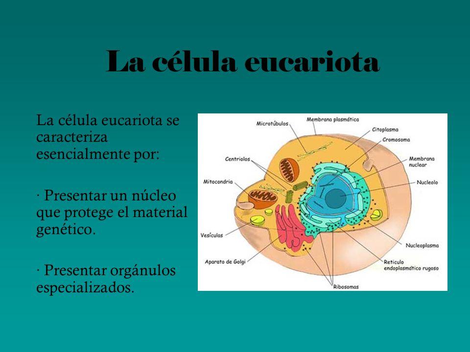 La célula eucariotaLa célula eucariota se caracteriza esencialmente por: · Presentar un núcleo que protege el material genético.