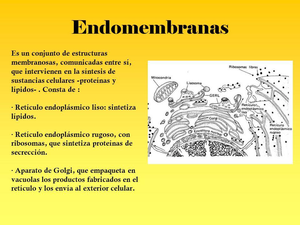 Endomembranas Es un conjunto de estructuras