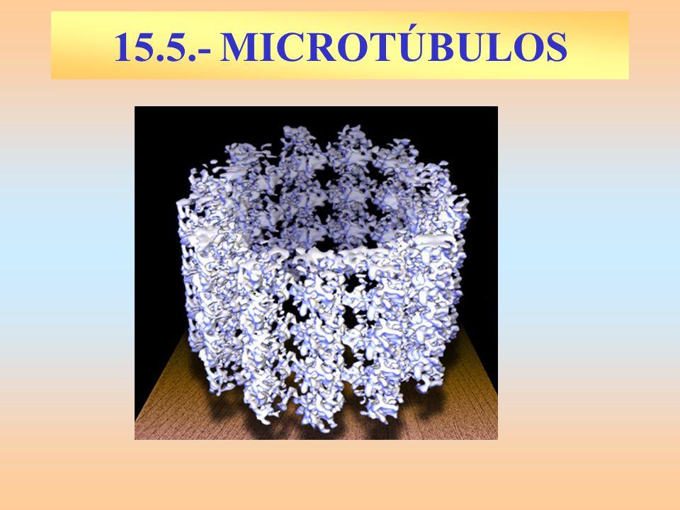 15.5.- MICROTÚBULOS