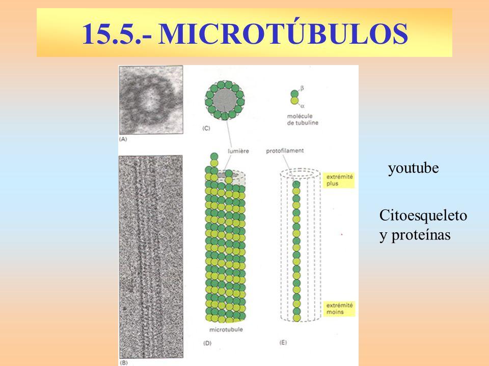 15.5.- MICROTÚBULOS youtube Citoesqueleto y proteínas