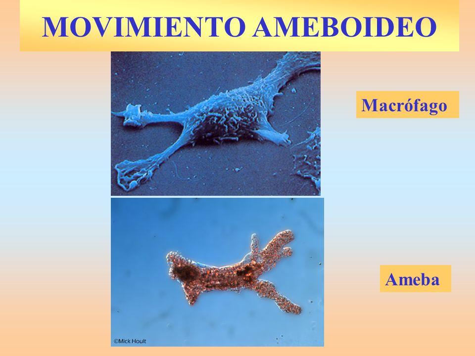MOVIMIENTO AMEBOIDEO Macrófago Ameba