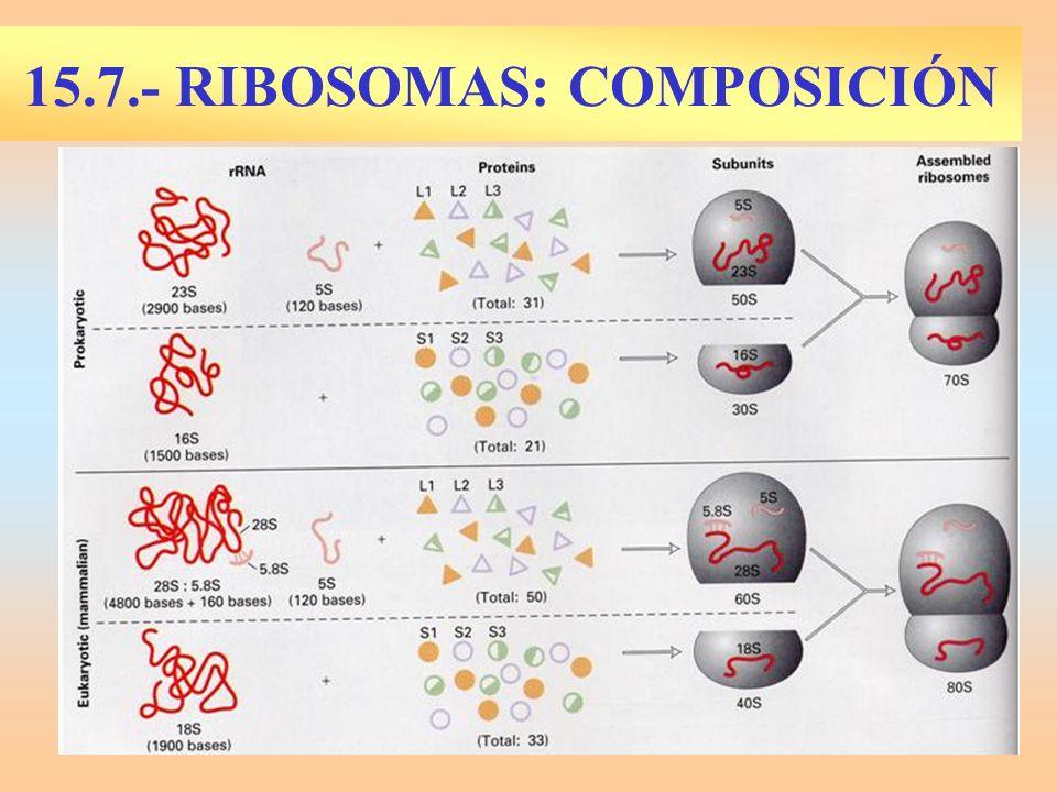 15.7.- RIBOSOMAS: COMPOSICIÓN