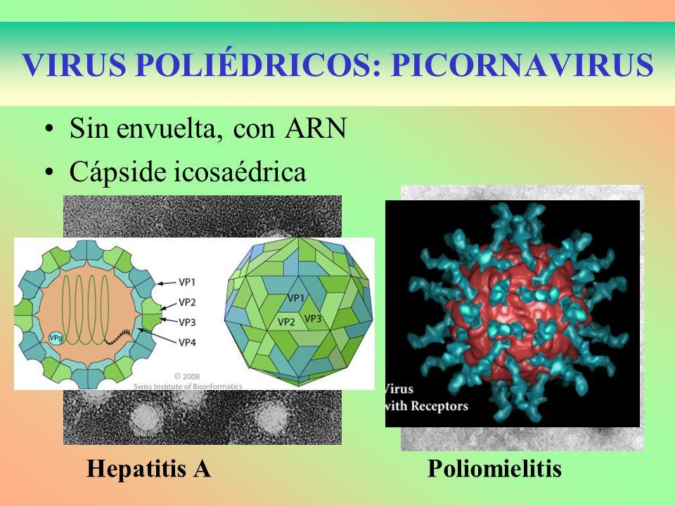 VIRUS POLIÉDRICOS: PICORNAVIRUS