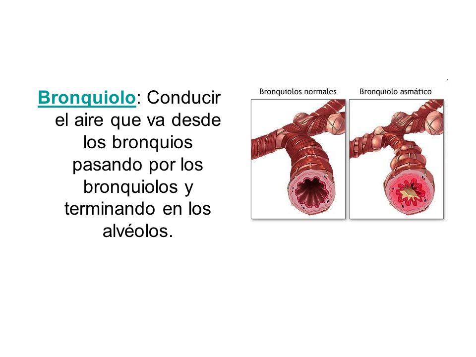 Bronquiolo: Conducir el aire que va desde los bronquios pasando por los bronquiolos y terminando en los alvéolos.