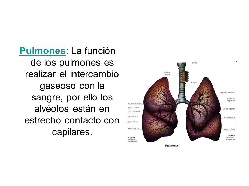 Pulmones: La función de los pulmones es realizar el intercambio gaseoso con la sangre, por ello los alvéolos están en estrecho contacto con capilares.