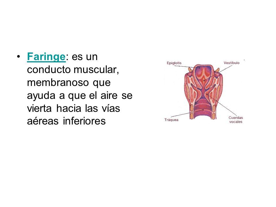 Faringe: es un conducto muscular, membranoso que ayuda a que el aire se vierta hacia las vías aéreas inferiores