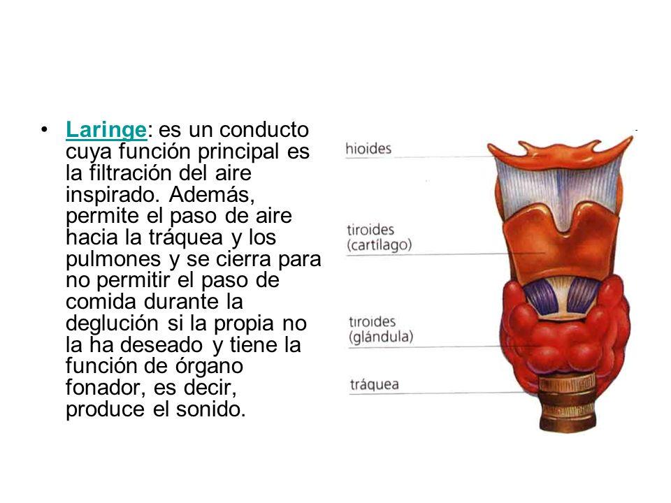 Laringe: es un conducto cuya función principal es la filtración del aire inspirado.