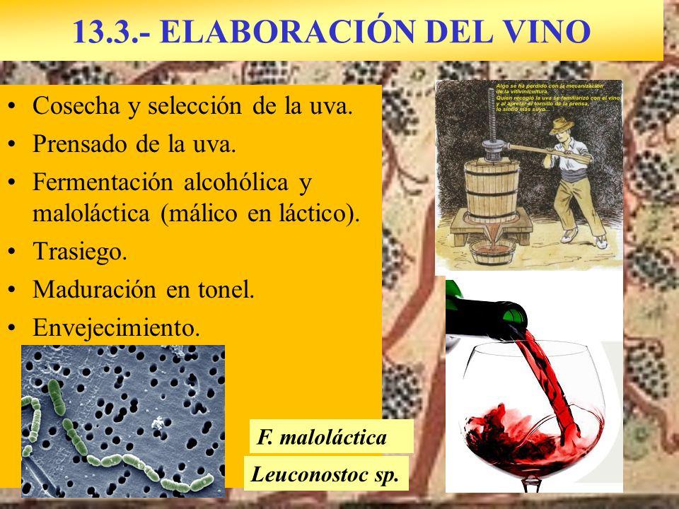 13.3.- ELABORACIÓN DEL VINO Cosecha y selección de la uva.