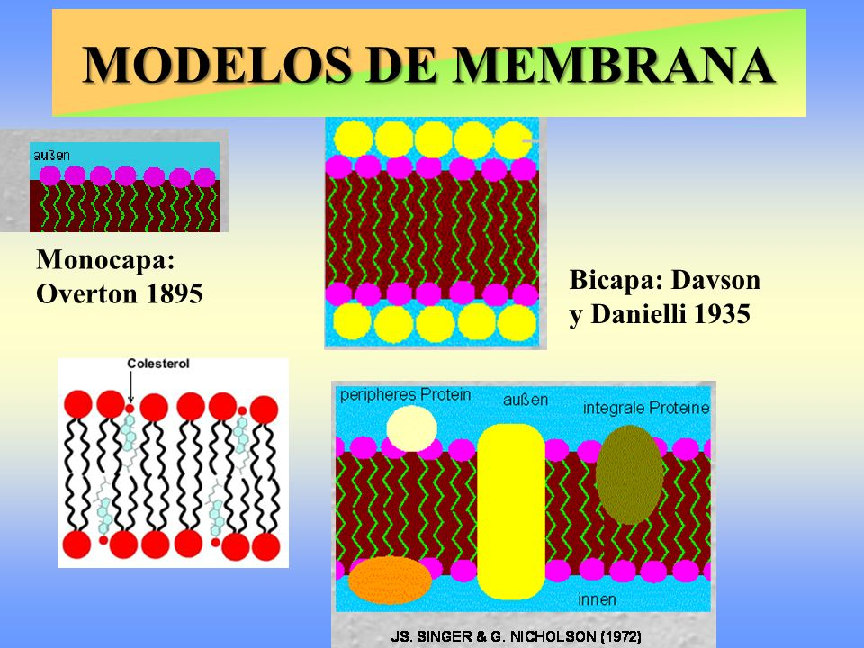 MODELOS DE MEMBRANA Monocapa: Overton 1895
