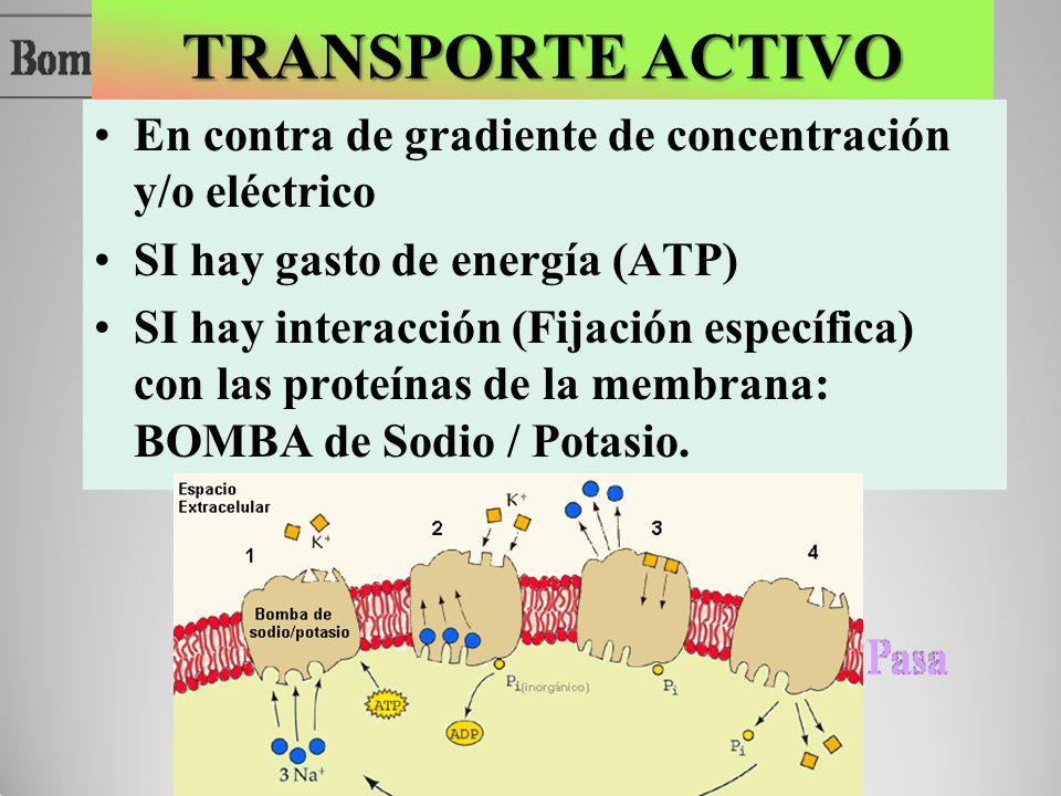 TRANSPORTE ACTIVO En contra de gradiente de concentración y/o eléctrico. SI hay gasto de energía (ATP)