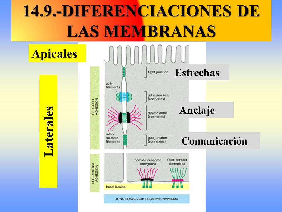 14.9.-DIFERENCIACIONES DE LAS MEMBRANAS