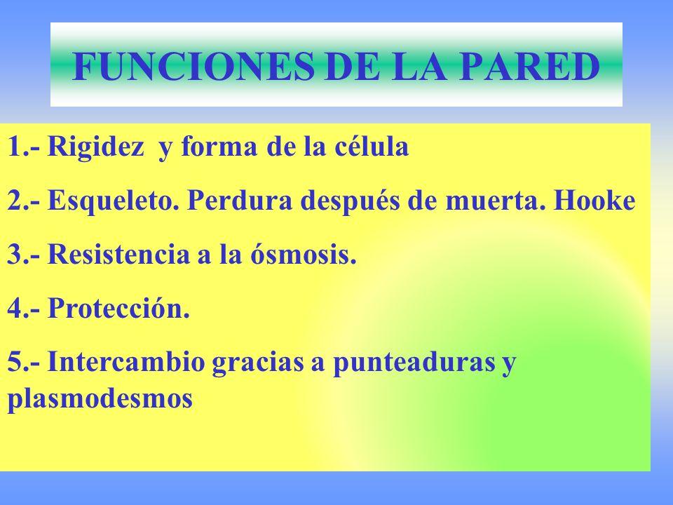 FUNCIONES DE LA PARED 1.- Rigidez y forma de la célula