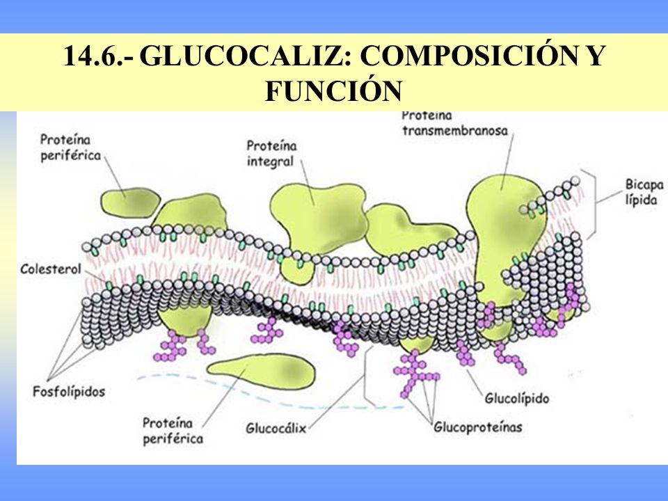 14.6.- GLUCOCALIZ: COMPOSICIÓN Y FUNCIÓN