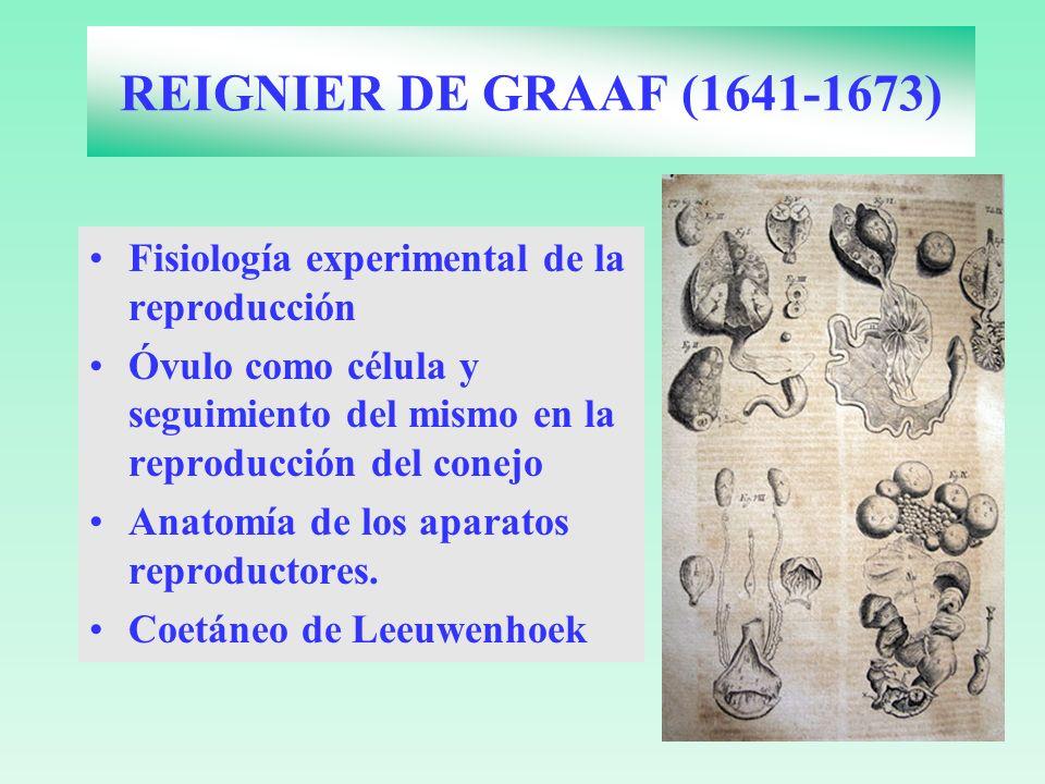 REIGNIER DE GRAAF (1641-1673)Fisiología experimental de la reproducción. Óvulo como célula y seguimiento del mismo en la reproducción del conejo.