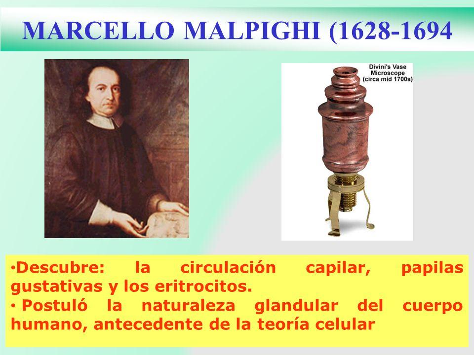 MARCELLO MALPIGHI (1628-1694Descubre: la circulación capilar, papilas gustativas y los eritrocitos.