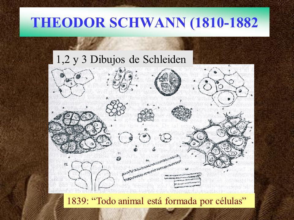 THEODOR SCHWANN (1810-1882 1,2 y 3 Dibujos de Schleiden