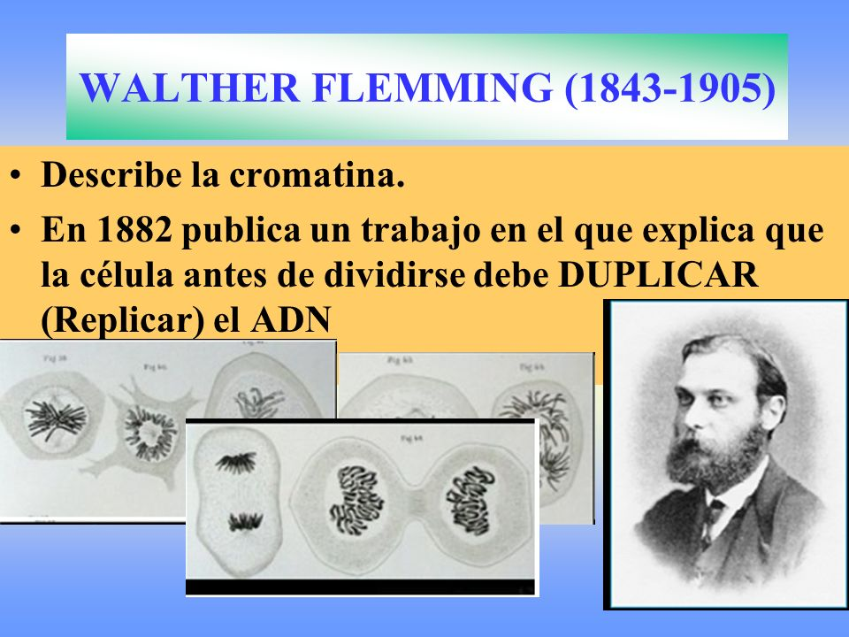 WALTHER FLEMMING (1843-1905) Describe la cromatina.