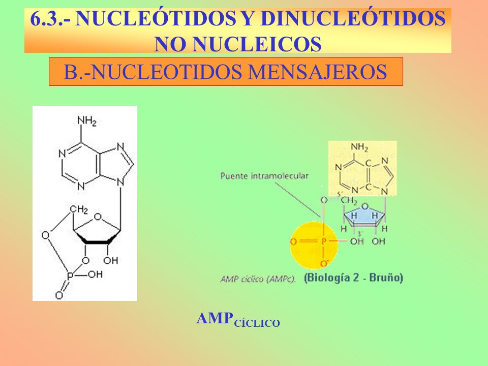 B.-NUCLEOTIDOS MENSAJEROS