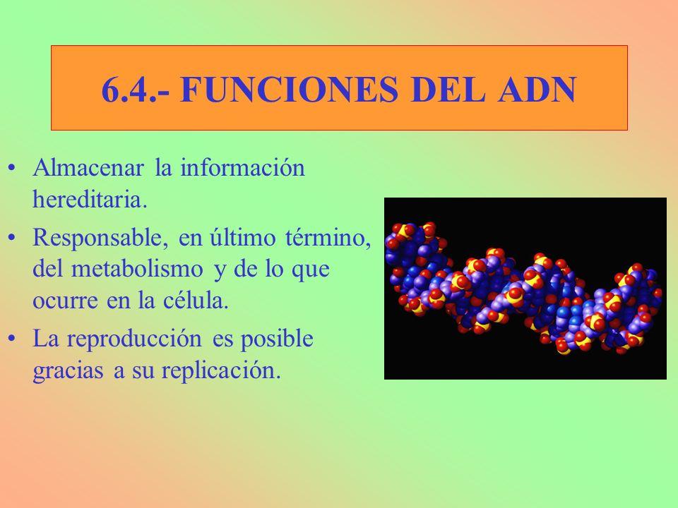6.4.- FUNCIONES DEL ADN Almacenar la información hereditaria.