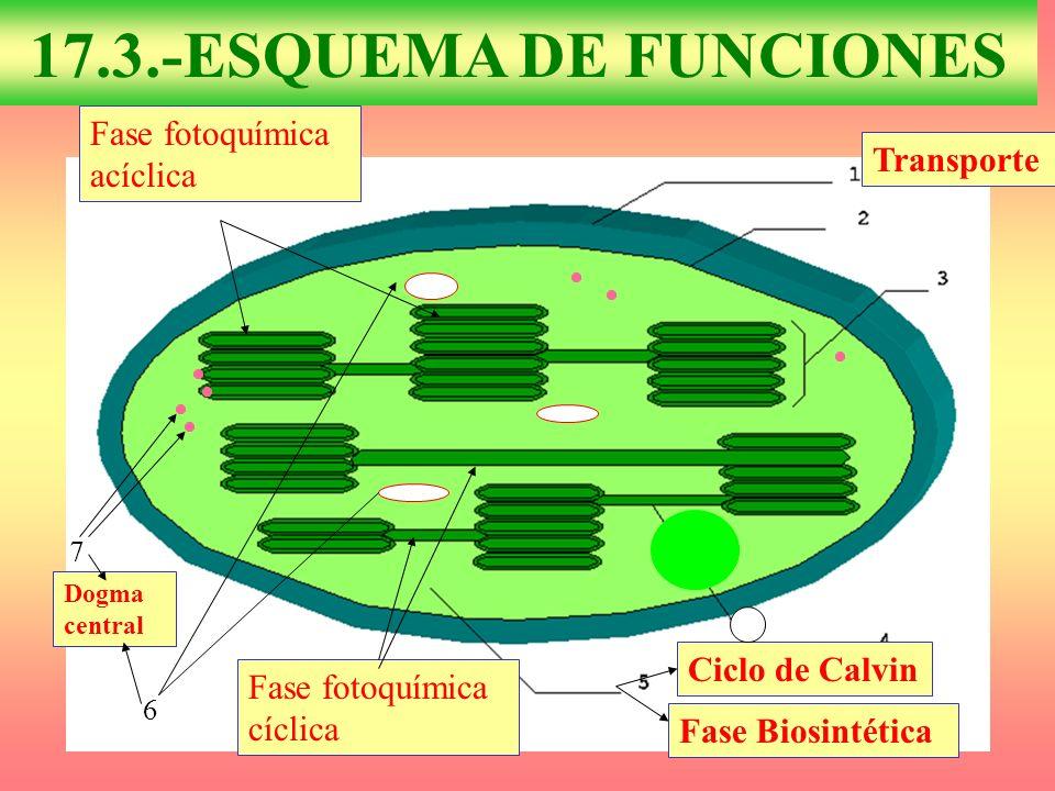 17.3.-ESQUEMA DE FUNCIONES Fase fotoquímica acíclica Transporte