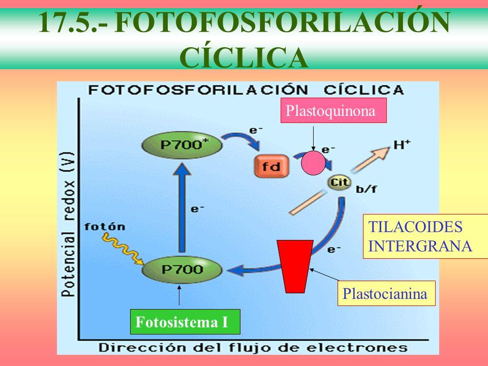 FOTOFOSFORILACIÓN CÍCLICA