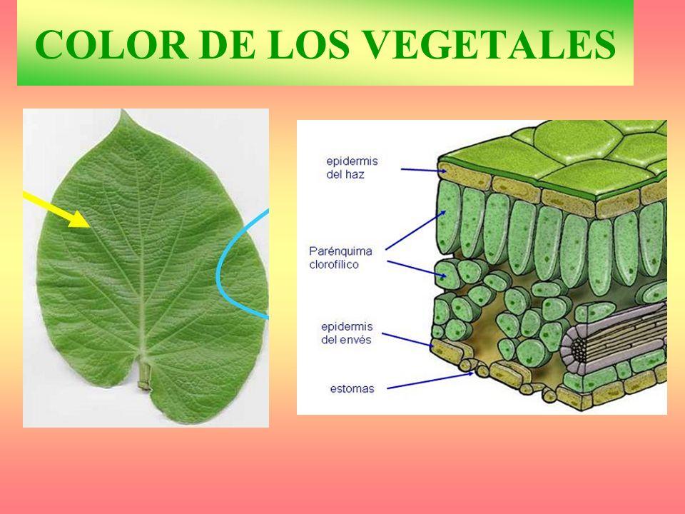 COLOR DE LOS VEGETALES