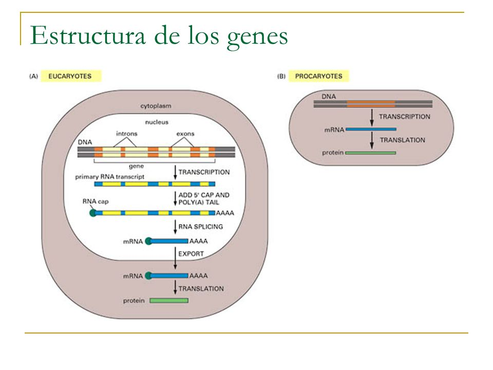 Estructura de los genes