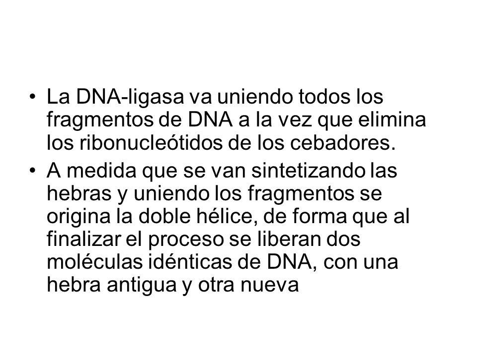La DNA-ligasa va uniendo todos los fragmentos de DNA a la vez que elimina los ribonucleótidos de los cebadores.
