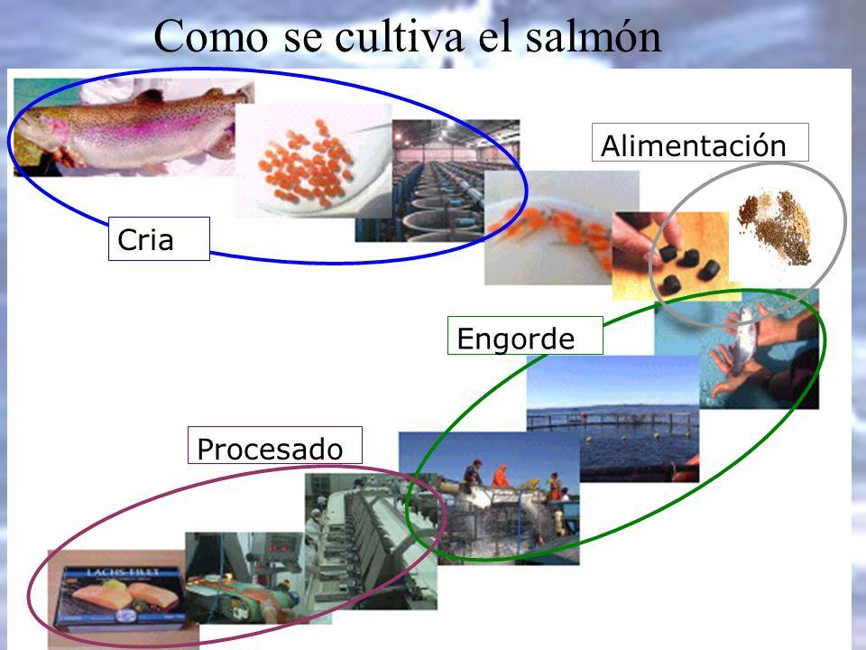 Como se cultiva el salmón