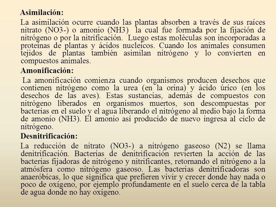 Asimilación: La asimilación ocurre cuando las plantas absorben a través de sus raíces nitrato (NO3-) o amonio (NH3) la cual fue formada por la fijación de nitrógeno o por la nitrificación.