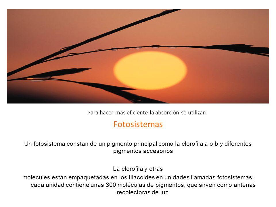 Etapa fotodependiete Fotosistemas Ocurre sólo en presencia de luz
