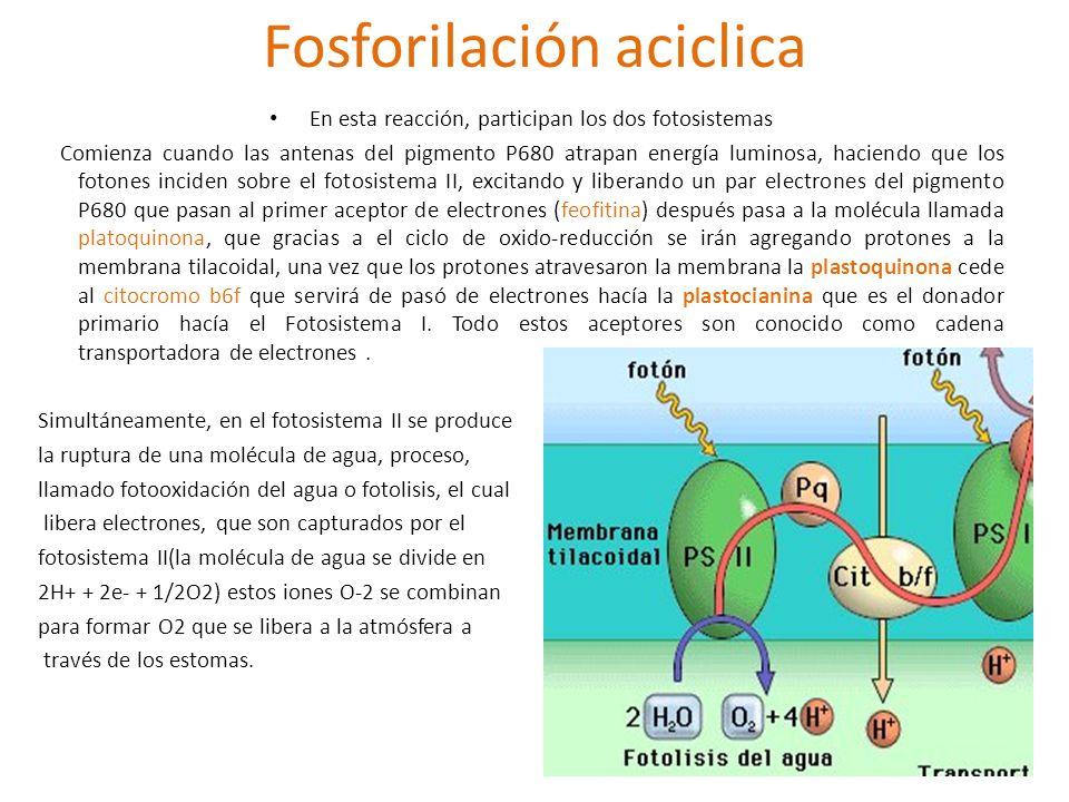 Fosforilación aciclica