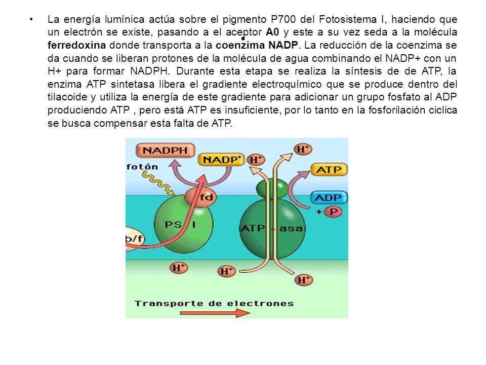 La energía lumínica actúa sobre el pigmento P700 del Fotosistema I, haciendo que un electrón se existe, pasando a el aceptor A0 y este a su vez seda a la molécula ferredoxina donde transporta a la coenzima NADP. La reducción de la coenzima se da cuando se liberan protones de la molécula de agua combinando el NADP+ con un H+ para formar NADPH. Durante esta etapa se realiza la síntesis de de ATP, la enzima ATP sintetasa libera el gradiente electroquímico que se produce dentro del tilacoide y utiliza la energía de este gradiente para adicionar un grupo fosfato al ADP produciendo ATP , pero está ATP es insuficiente, por lo tanto en la fosforilación ciclica se busca compensar esta falta de ATP.