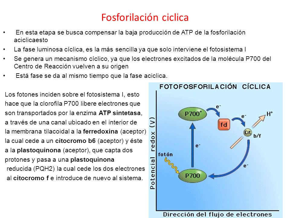 Fosforilación ciclica