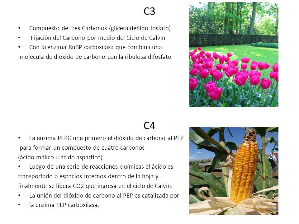 C3 C4 Compuesto de tres Carbonos (gliceraldehído fosfato)