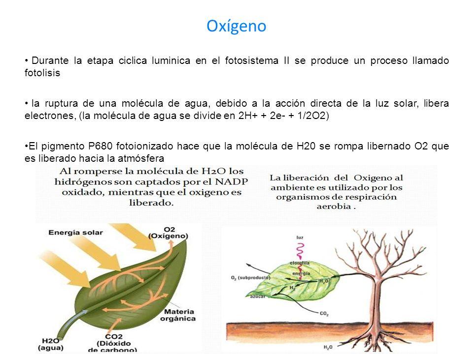 OxígenoDurante la etapa ciclica luminica en el fotosistema II se produce un proceso llamado fotolisis.