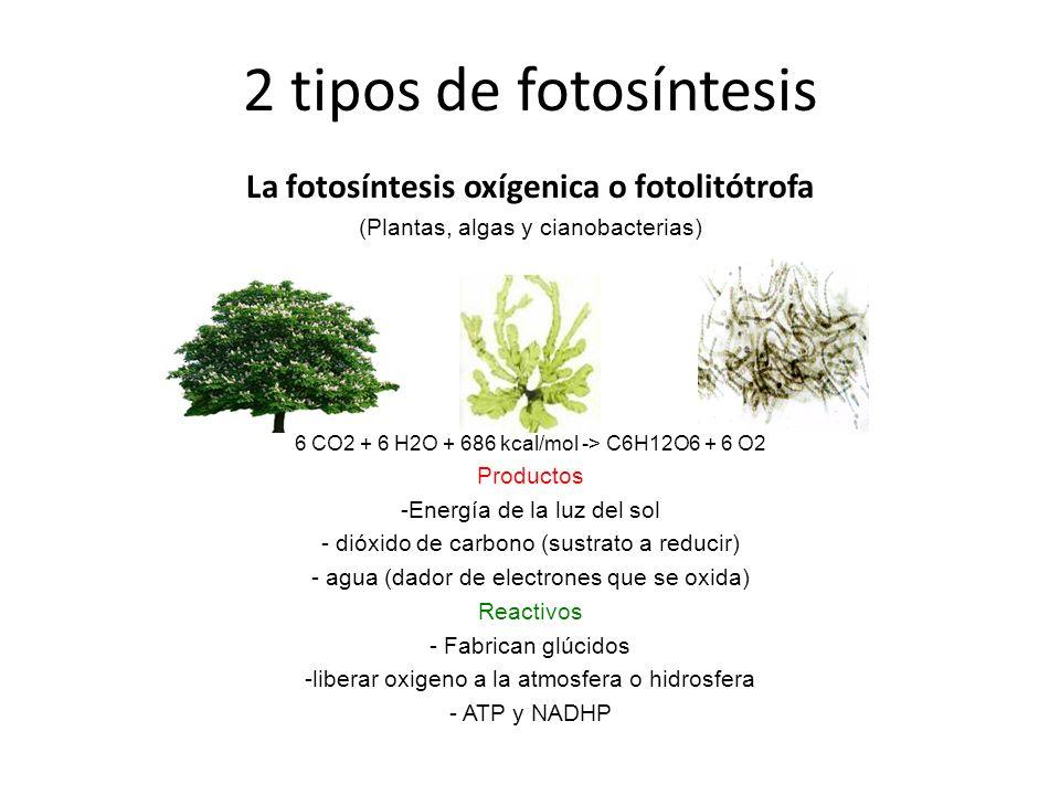 La fotosíntesis oxígenica o fotolitótrofa