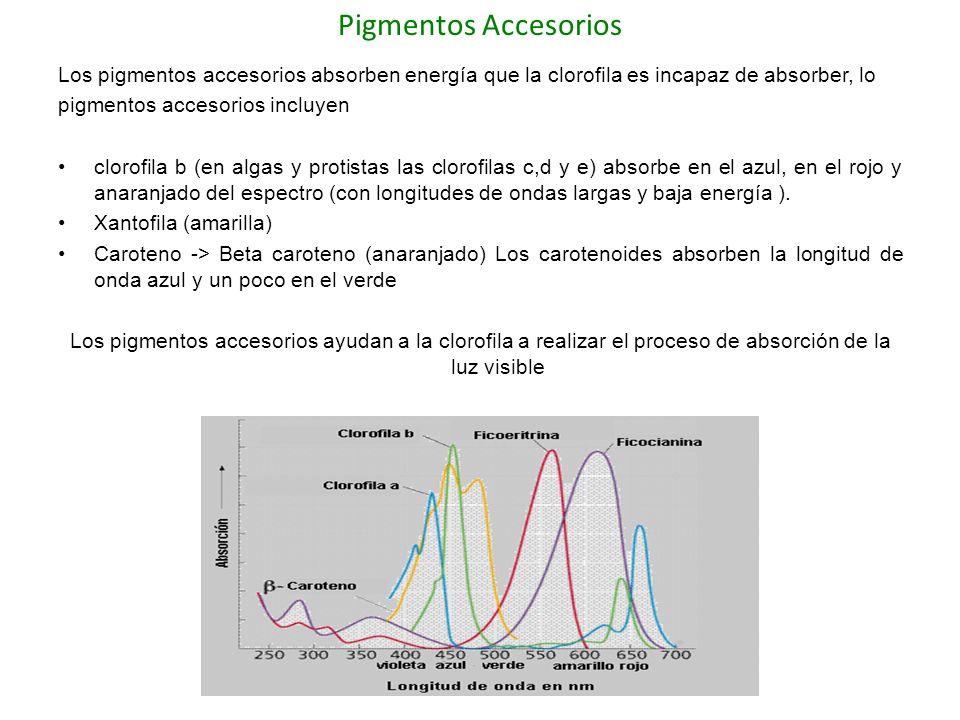 Pigmentos Accesorios Los pigmentos accesorios absorben energía que la clorofila es incapaz de absorber, lo.