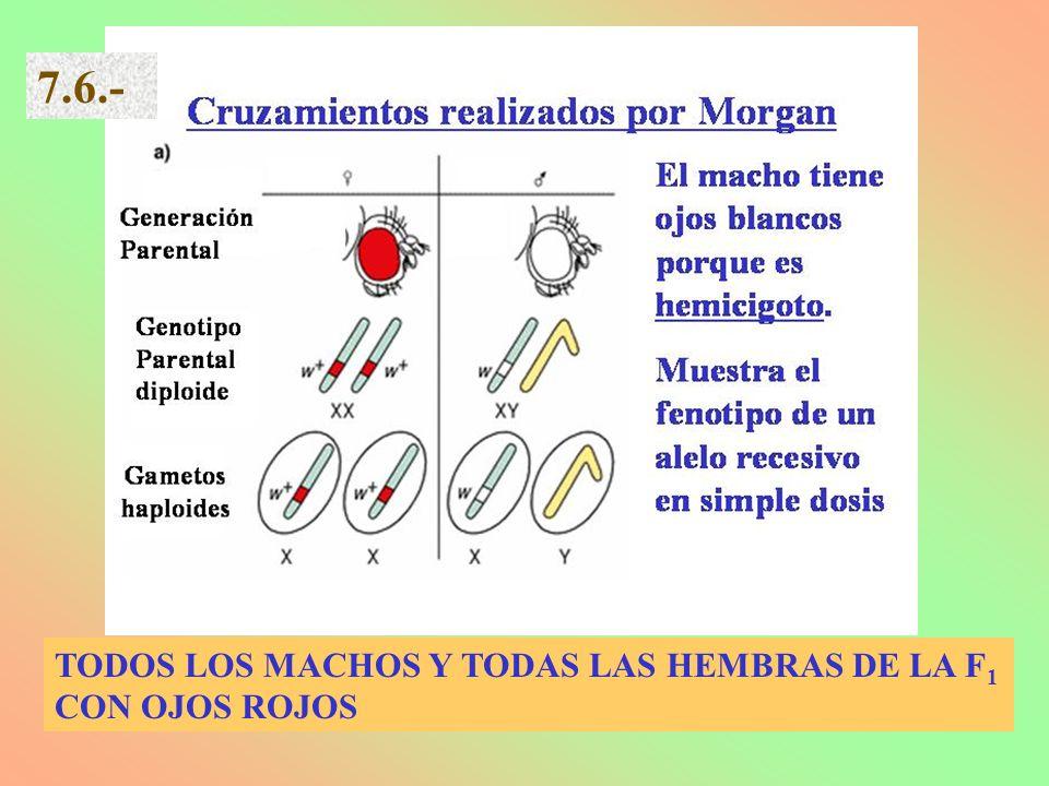 7.6.- TODOS LOS MACHOS Y TODAS LAS HEMBRAS DE LA F1 CON OJOS ROJOS