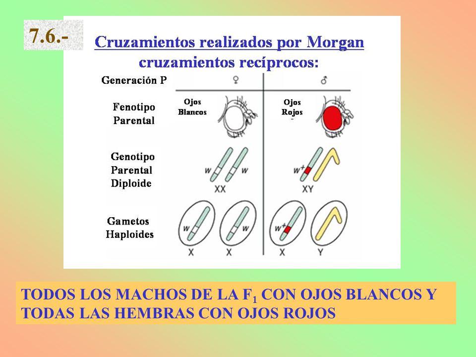 7.6.- TODOS LOS MACHOS DE LA F1 CON OJOS BLANCOS Y TODAS LAS HEMBRAS CON OJOS ROJOS