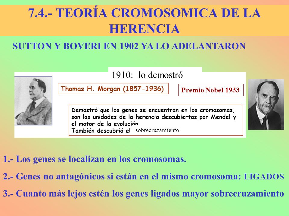 7.4.- TEORÍA CROMOSOMICA DE LA HERENCIA