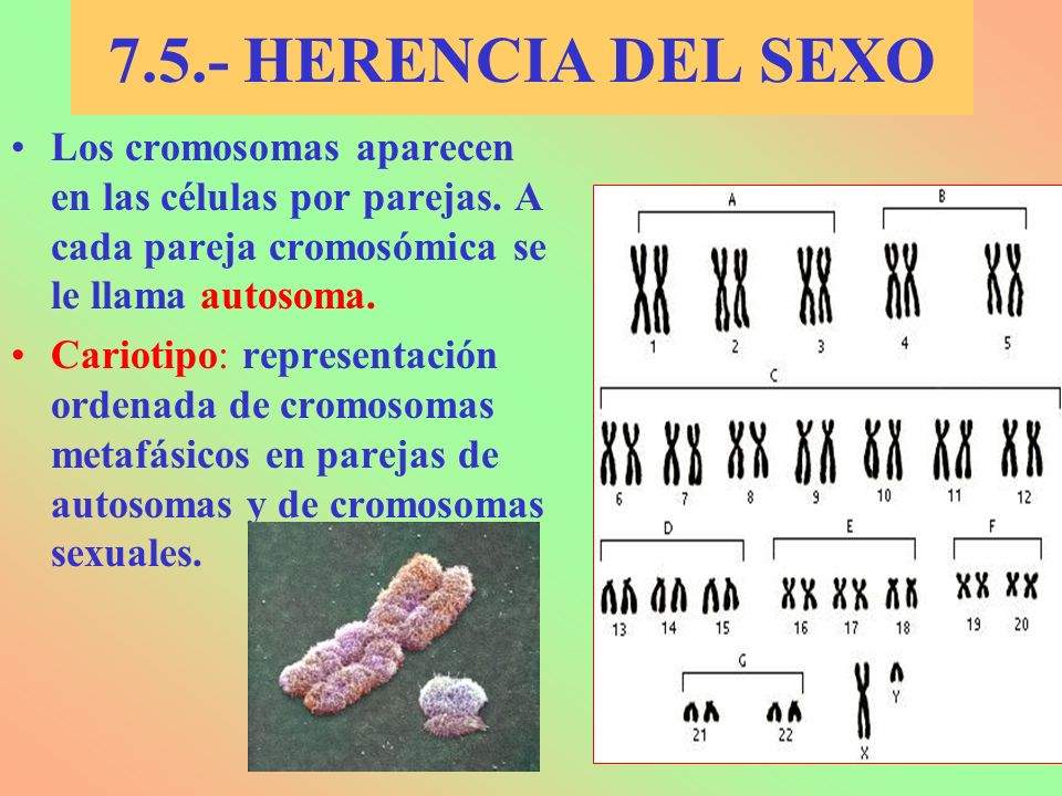 7.5.- HERENCIA DEL SEXO Los cromosomas aparecen en las células por parejas. A cada pareja cromosómica se le llama autosoma.