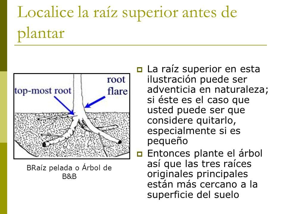 Localice la raíz superior antes de plantar