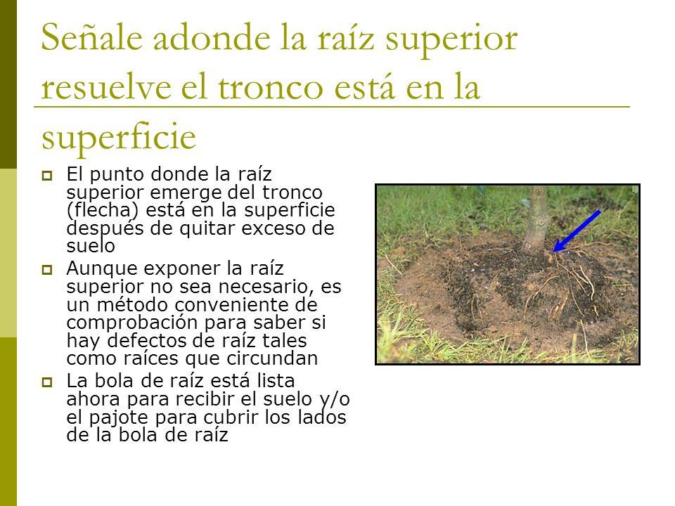 Señale adonde la raíz superior resuelve el tronco está en la superficie
