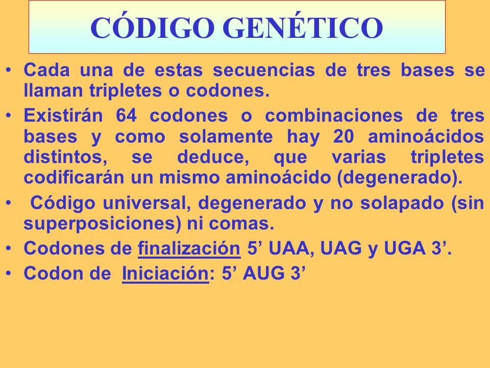 CÓDIGO GENÉTICO Cada una de estas secuencias de tres bases se llaman tripletes o codones.